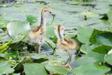 Population of pheasant-tailed jacanas recovering