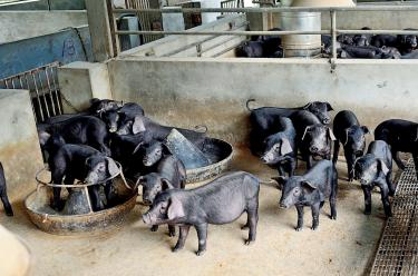 Black pig farmers band together as fever hits sales