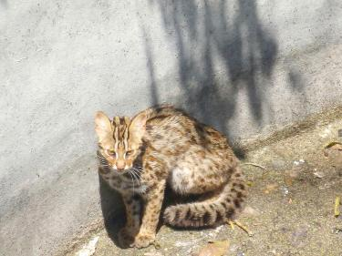 Leopard cat rescued from reservoir