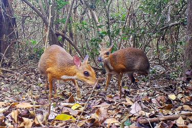 Mouse deer species seen for first time in decades
