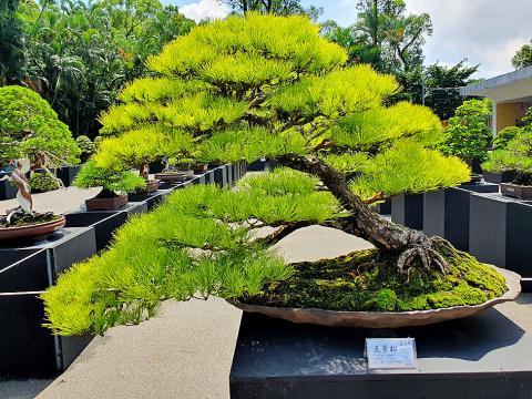 Bonsai Exhibition Opens In Taipei Taipei Times