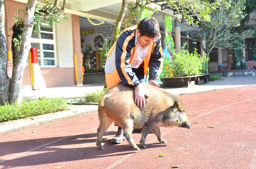 Group warns pigs not easy to keep as pets