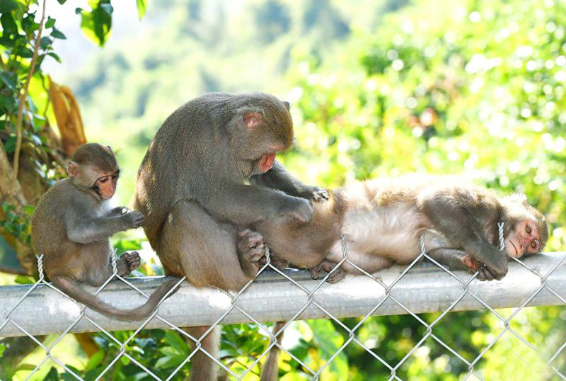 Film on Shoushan macaques wins award in US festival