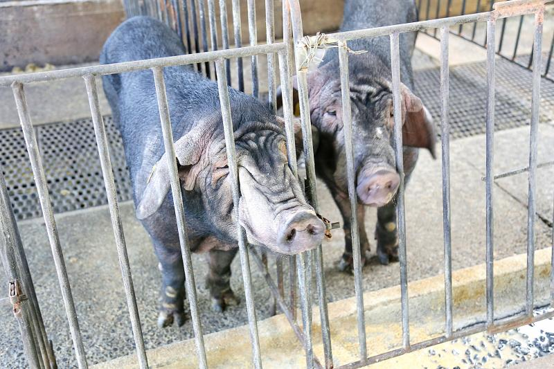 Black pig farmers battling to meet government rules